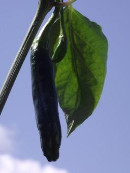 chilaca chili