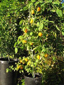chile manzano
